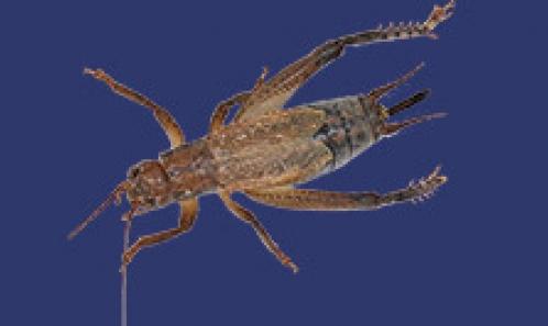 De nouveaux Tafaliscina brésiliens augmentent la diversité de ce clade de grillons néotropicaux (Orthoptera: Grylloidea: Gryllidae: Oecanthinae: Paroecanthini)