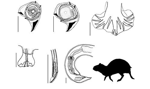 Critical revision of the Heligmonellidae (Nematoda: Trichostrongylina: Heligmosomoidea)