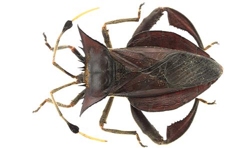 Insecta, Hemiptera, Heteroptera, Coreidae
