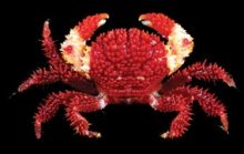 Actaea grimaldii Ng & Bouchet, 2015, a new species of reef crab