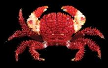 Actaea grimaldii Ng & Bouchet, 2015, a new species of reef crab