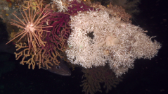 Guide de la faune profonde de la mer Méditerranée