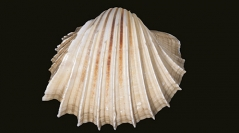 Marine Bivalves of Tropical West Africa