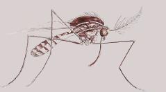 Insecta, Diptera, Culicidae, Uranotaenia