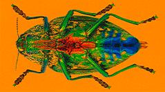 Insecta, Coleoptera, Buprestidae de Madagascar et des îles voisines