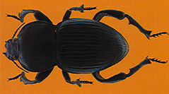 Insecta, Coleoptera, Tenebrionidae