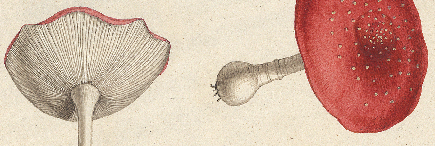 <div>The drawings of Mushrooms by Claude Aubriet</div>